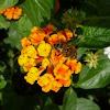 Apis mellifera, abeja europea, abeja doméstica o abeja melífera sobre flor lantana
