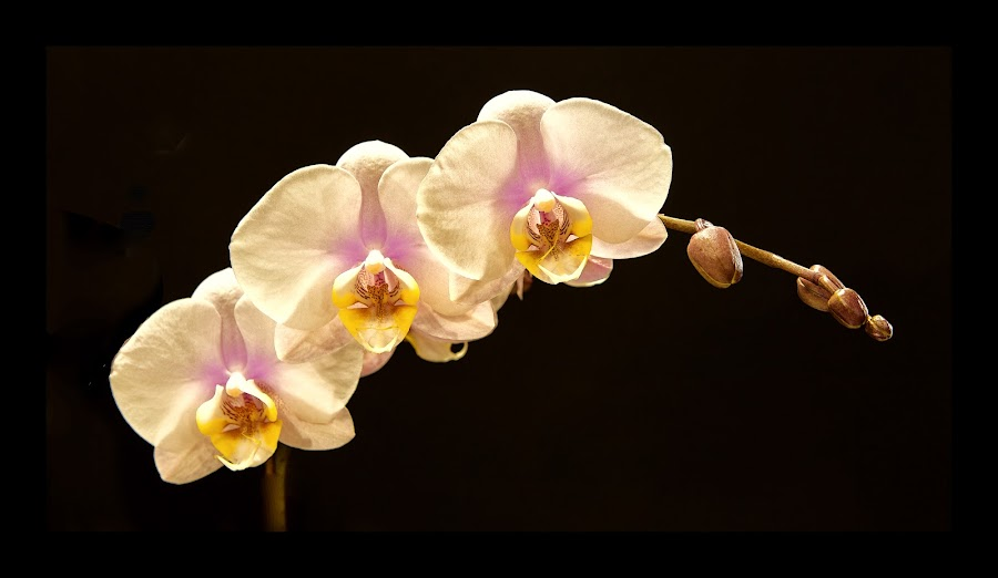 by Floyd Hopper - Flowers Single Flower ( amabillis orchids, orchids, moth orchids, phaenopsis orchids, pink, tropical flowers )