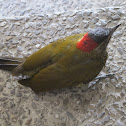 Golden-olive Woodpecker, Carpintero oliváceo