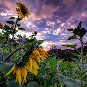 Sunflowers by Ivan Bertusi - Landscapes Sunsets & Sunrises ( field, colors, sunset, sunflowers, yellow, light, evening )