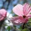 Wild Hibiscus (Splendid Hibiscus)