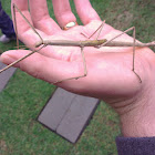 Margin winged stick insect