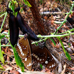 Butterflies in the outback by Ned Kelly - Animals Insects & Spiders ( butterfly, australia, outback,  )