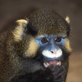 Monkey with blue face by Peter Janssen - Animals Other Mammals ( monkey, animal )