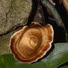 Spinning Top Mushroom