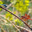 Dragonflies - Flame Skimmer - Blue Dasher Dragonfly