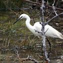 Little Egret - Volavka stříbřitá
