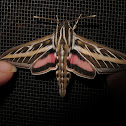 White-lined Sphinx (male)