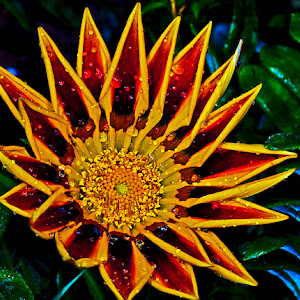 gazania nearly open wet y y.jpg