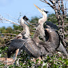 Great Blue Heron (Fledglings)