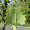 Yellow Poplar / Tuliptree