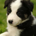 Dog Puzzle: Border Collie icon