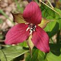 Purple Trillium or Wakerobin