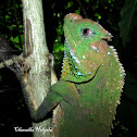 Hump-nosed Lizard