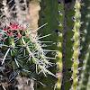 Pitayo (Pitaya Cactus)