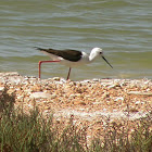 Black-winged Stilt (female?)