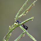Black Digger Wasp