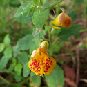 Jewelweed, Spotted Touch-Me-Not