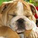 English Bulldog L. Wallpaper