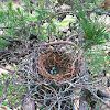 American Crow nest with eggs