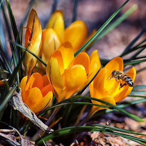 Busy Bee by James Gramm - Flowers Flowers in the Wild ( wild, macro, spring colorful flowers, nature, crocus, sun coming through wildflowers, yellow, flowers, spring, closeup, honey bee,  )