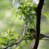 European Greenfinch / Grünfink