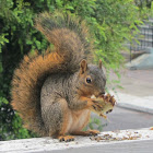 Fox Squirrel eating sunflower seeds (video)