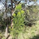 Native Cherry Tree