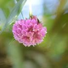 Elleanthus orquidea.