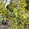 Mistletoe, muérdago