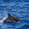 Atlantic Spotted Dolphin