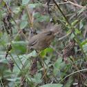 巨嘴柳鶯 / Radde's Warbler
