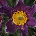 Pasque Flower,  Dane's Blood