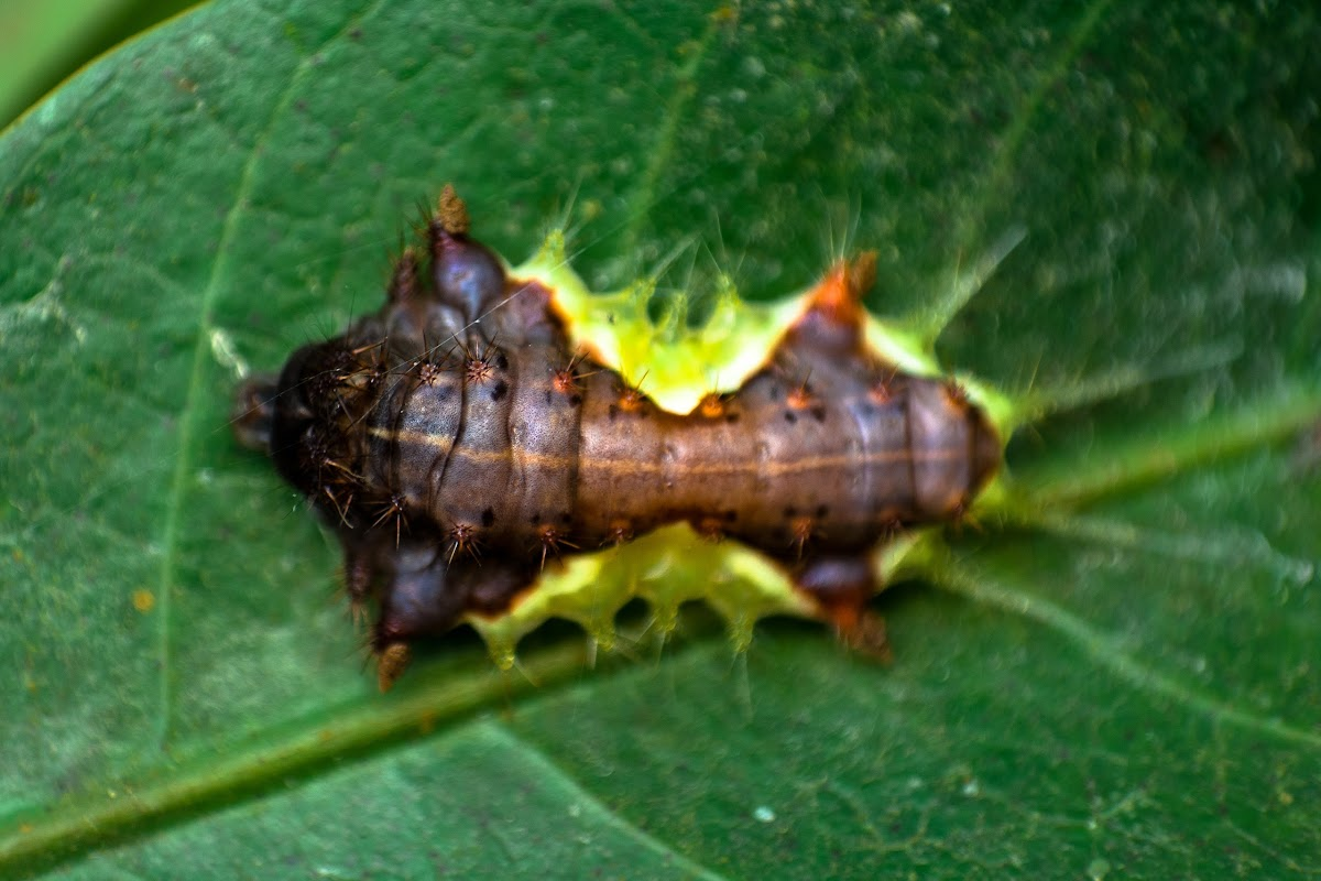 Slug Caterpillar