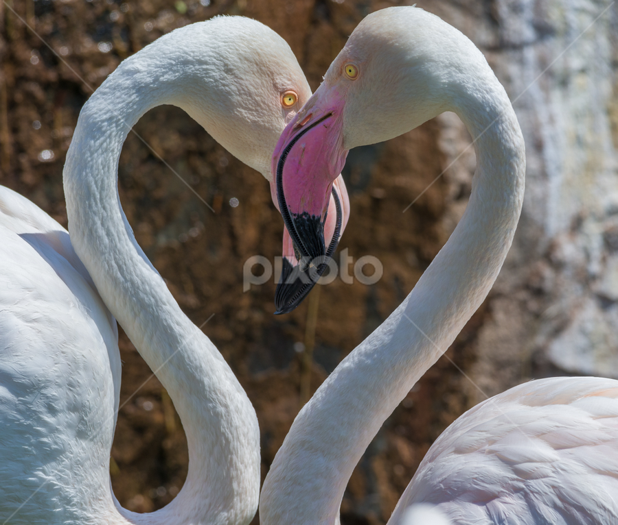 Love is in the air  by Pax Bell - Animals Birds