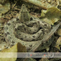 hump nosed viper