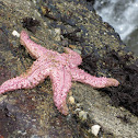 Pink Sea Star, Giant Pink Sea Star or Short-spined Sea Star