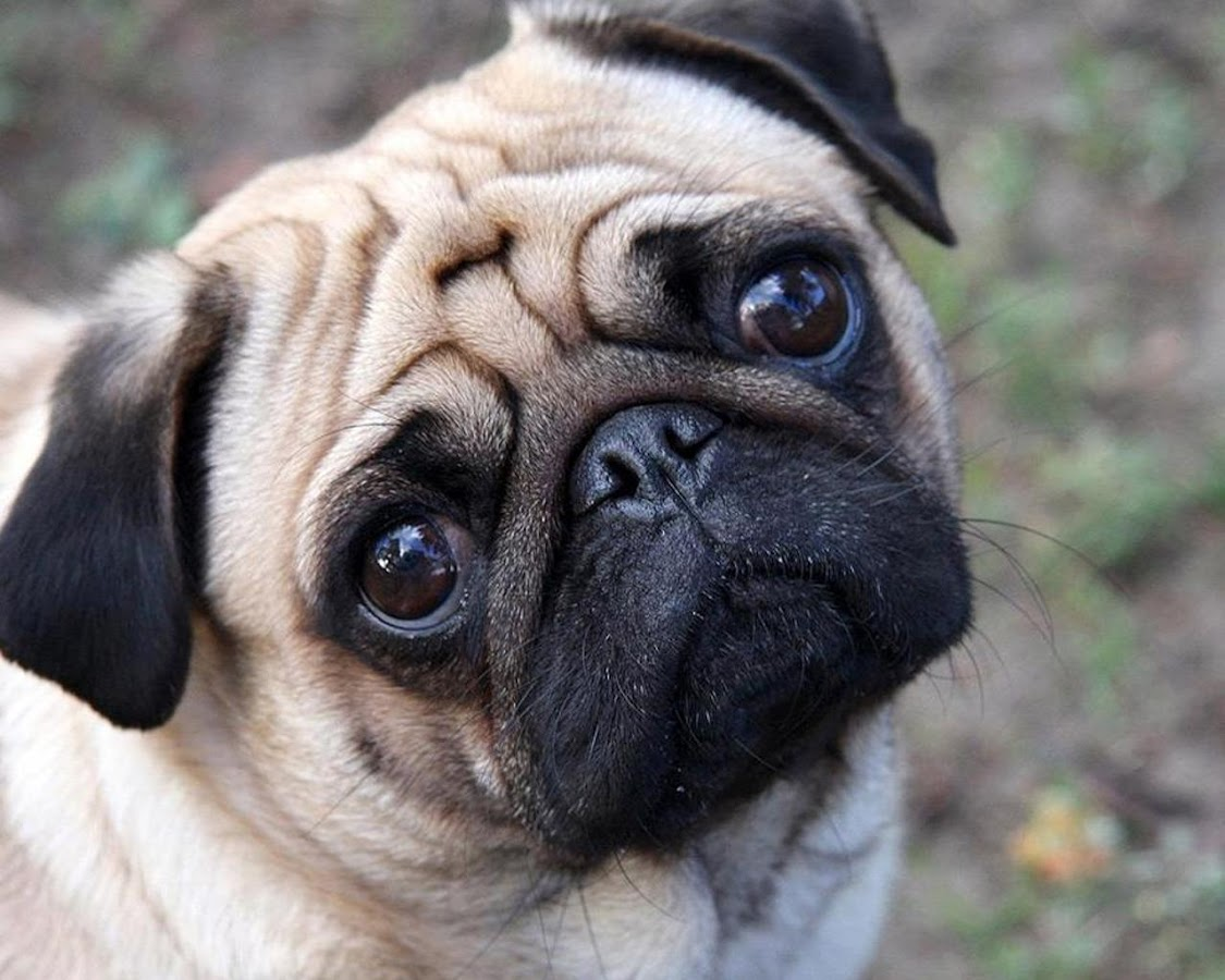 Pugs Wallpapers Apl Android Di Google Play