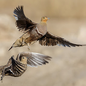 Pair of Sandgrouses by Jan Fourie - Animals Birds ( southafrica, kgalagadi, africa )