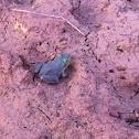 Bull froglet