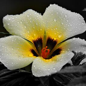 White Alder by Yusop Sulaiman - Flowers Single Flower (  )