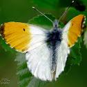 Orange Tip (male) / Zorzynek rzeżuchowiec (samiec)