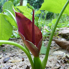 Bengal Arum