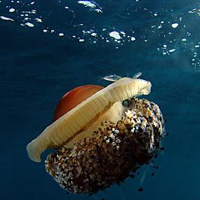 Poached egg 3 by Adi Drnda - Animals Sea Creatures