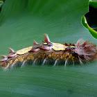 Common Blue Morpho (Caterpillar)