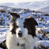 Border Collie Dog Puzzles