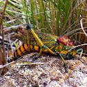 Madagascar Bush locust