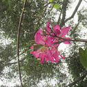 Camel foot orchid bauhinia Hong Kong Orchid tree
