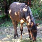 Hebra (Horse/Zebra Hybrid)