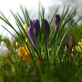 Spring by Kathryn Johnson - Flowers Flower Buds ( colourful, season, park, crocus, flowers, spring,  )